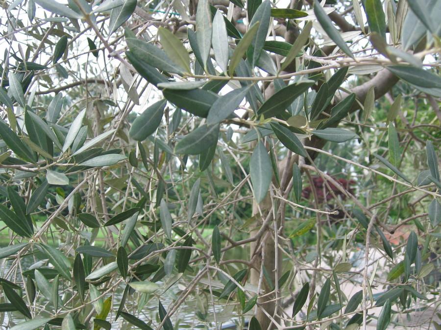 L'Olivo, pianta spirituale