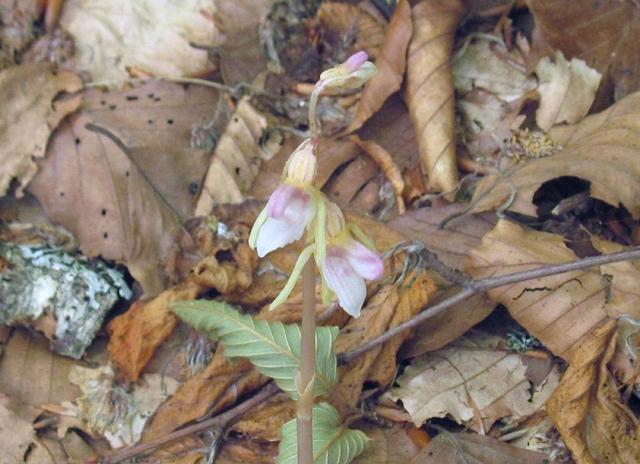 L'orchidea fantasma, priva di foglie e clorofilla