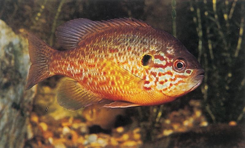 Il pesce persico sole