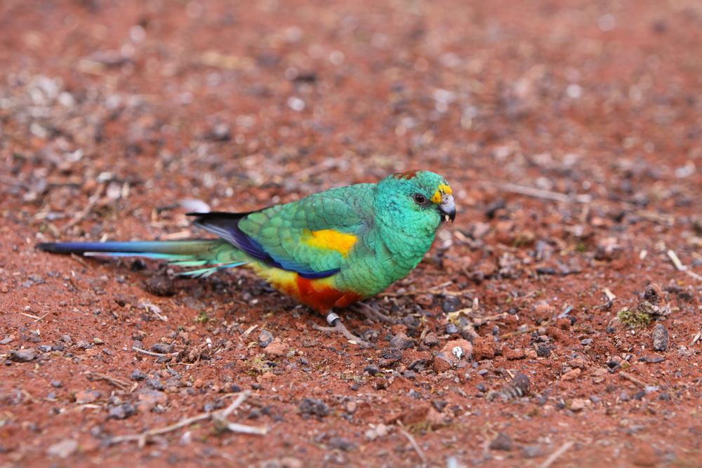 Il pappagalletto dal groppone verde