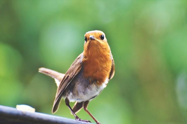 Per gli uccelli selvatici semi e palline di grasso