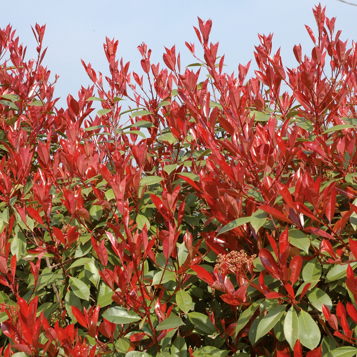 Photinia Red Robin x fraseii