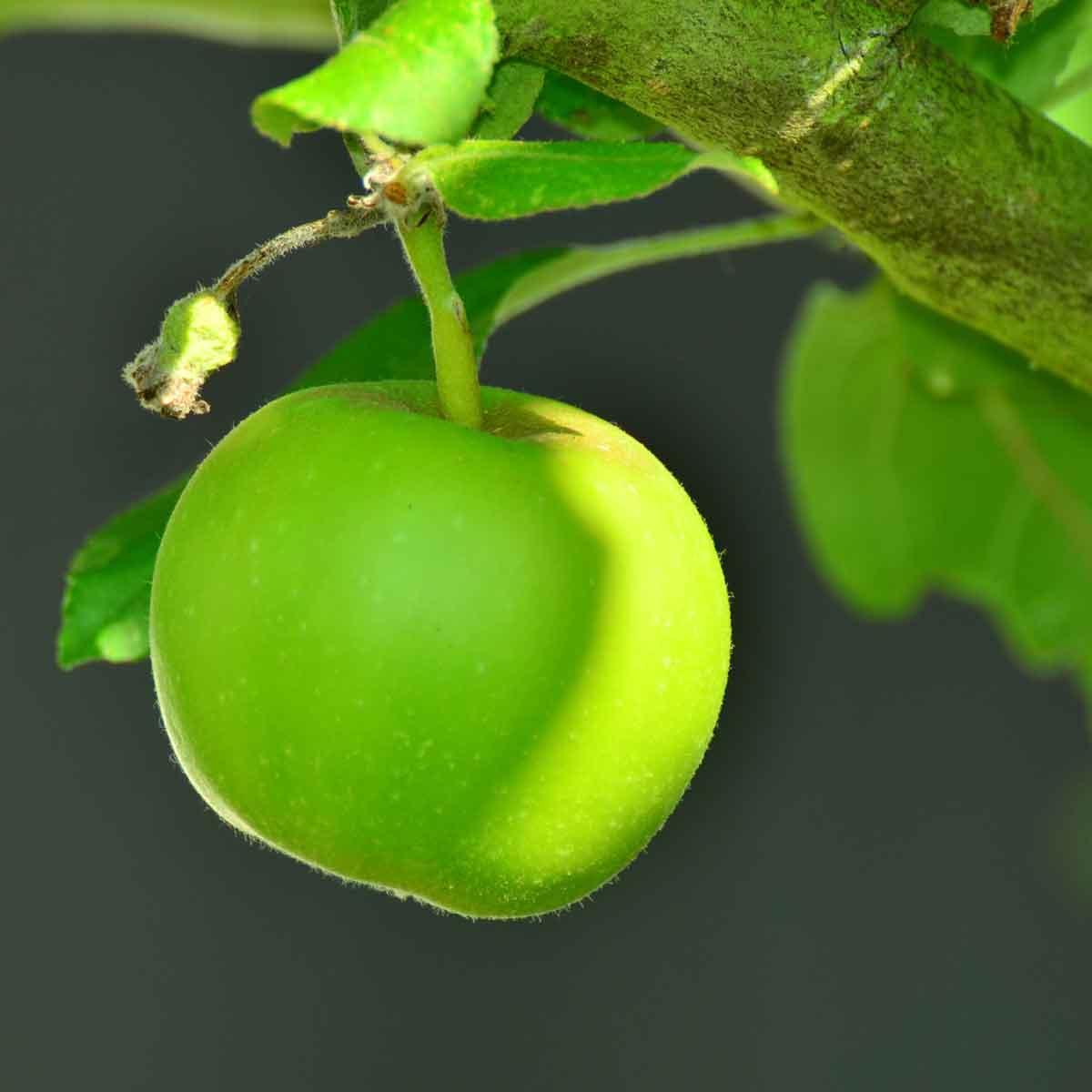 Piante da frutto in varietà