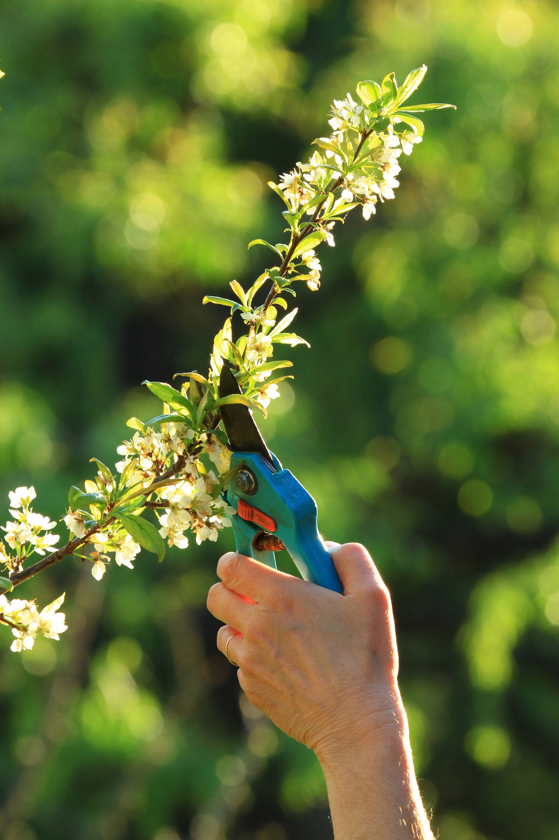 Come potare le piante da frutto