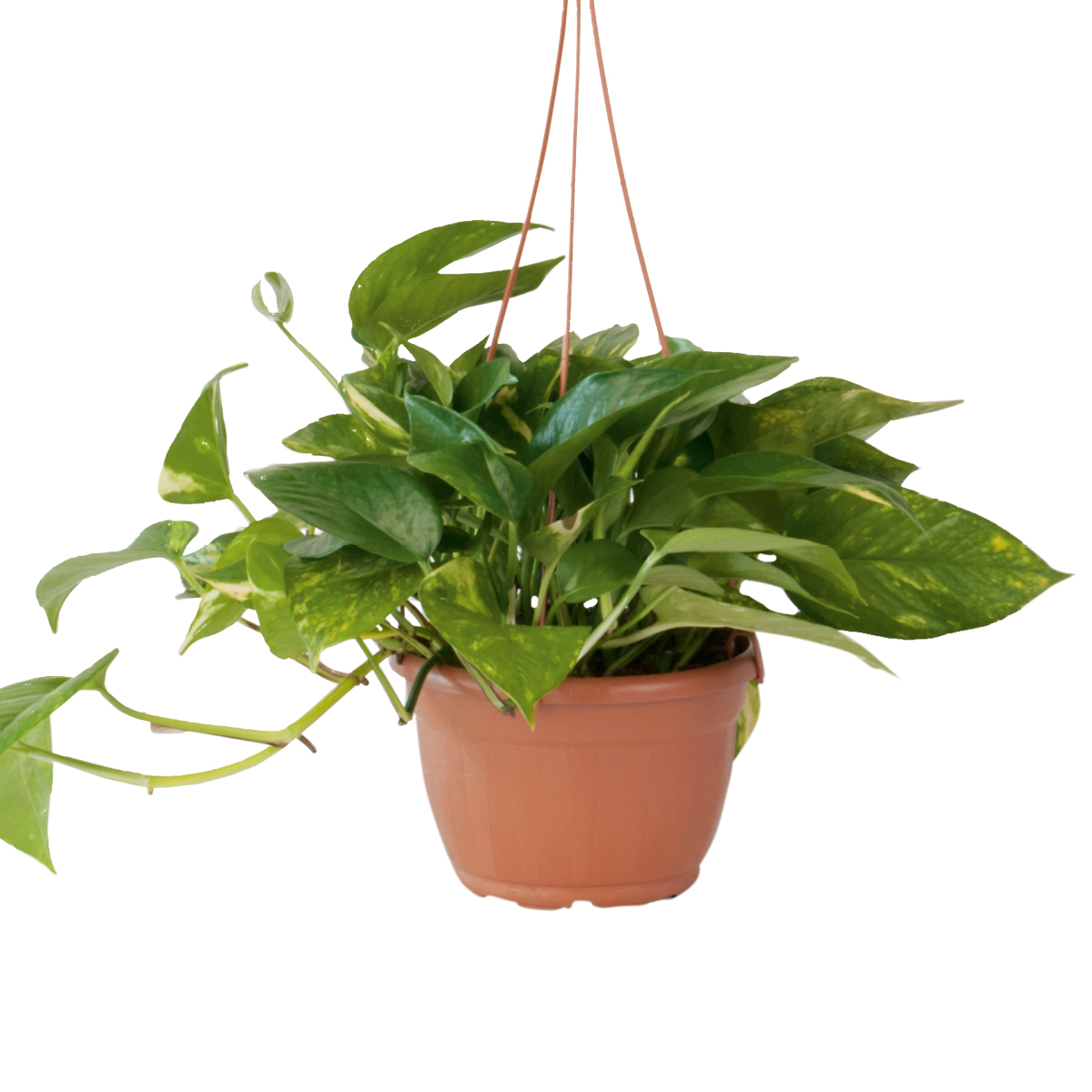 Pothos in basket