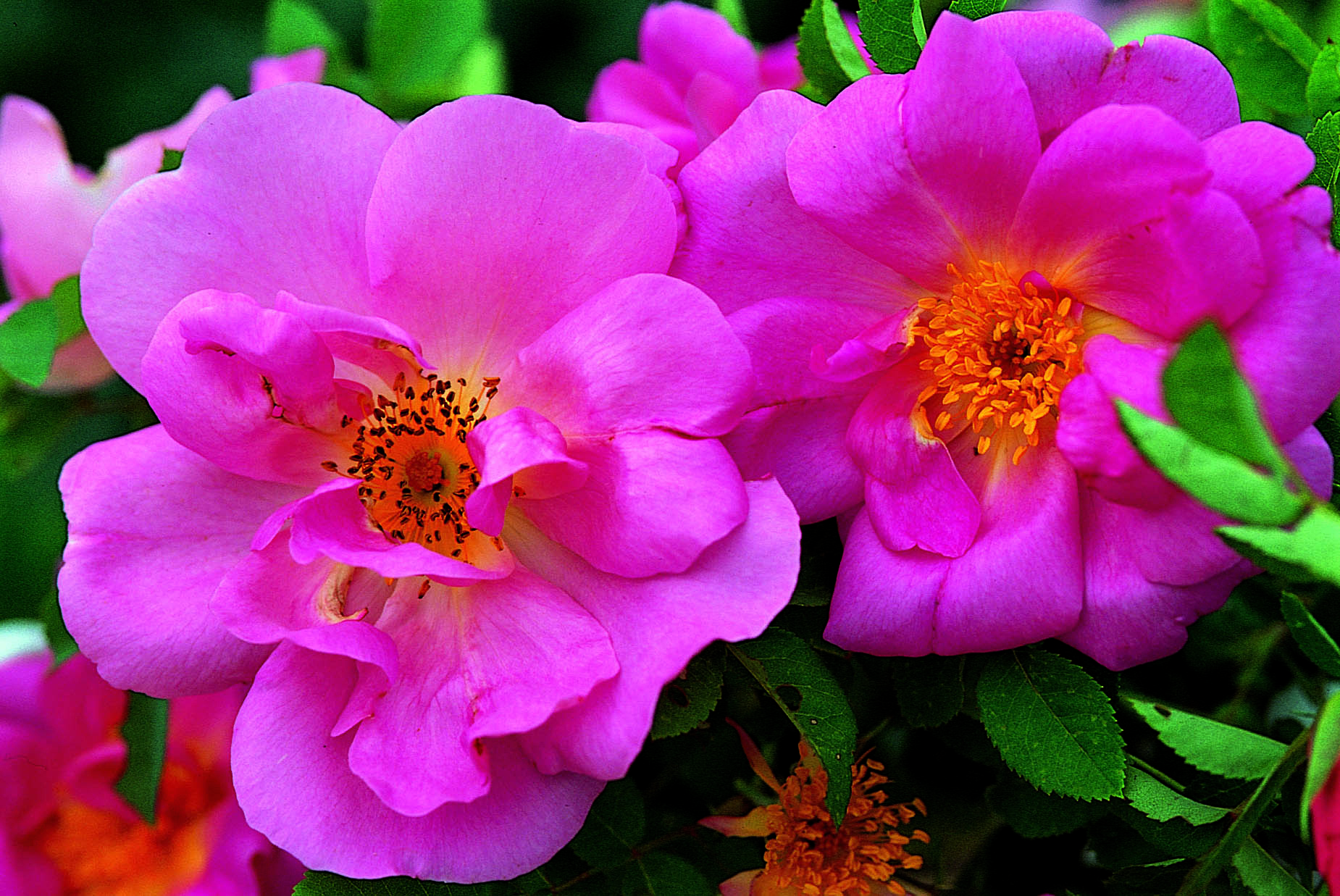 Maggio, il mese delle rose