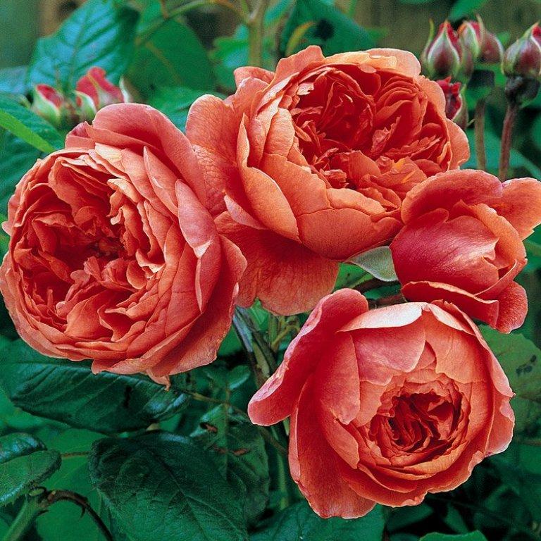 Rose tapezzanti in varietà