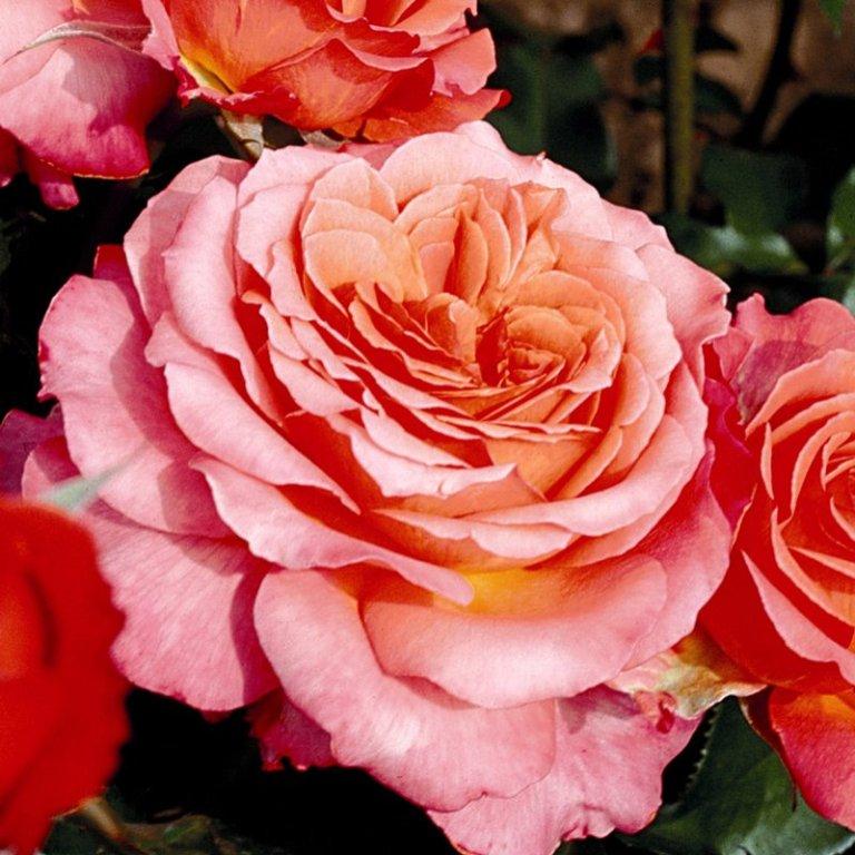 Rose grandi fiori Tantau
