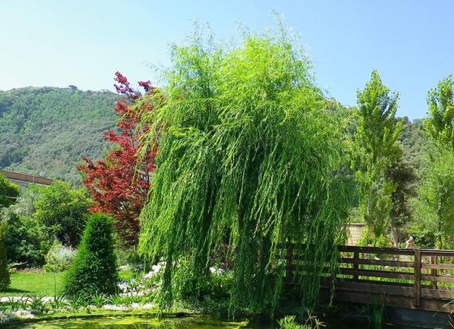Salice, l'albero del Viminale