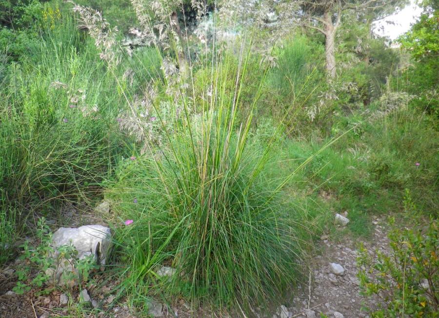 La tagliamani, pianta delle foglie ruvide e taglienti