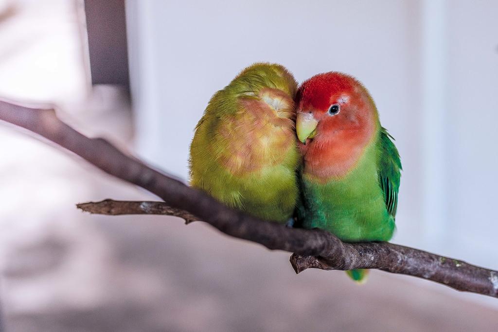 L'emorragia negli uccelli domestici