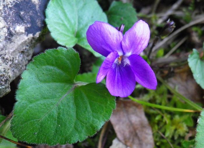 Viola mammola, nota romantica in giardino