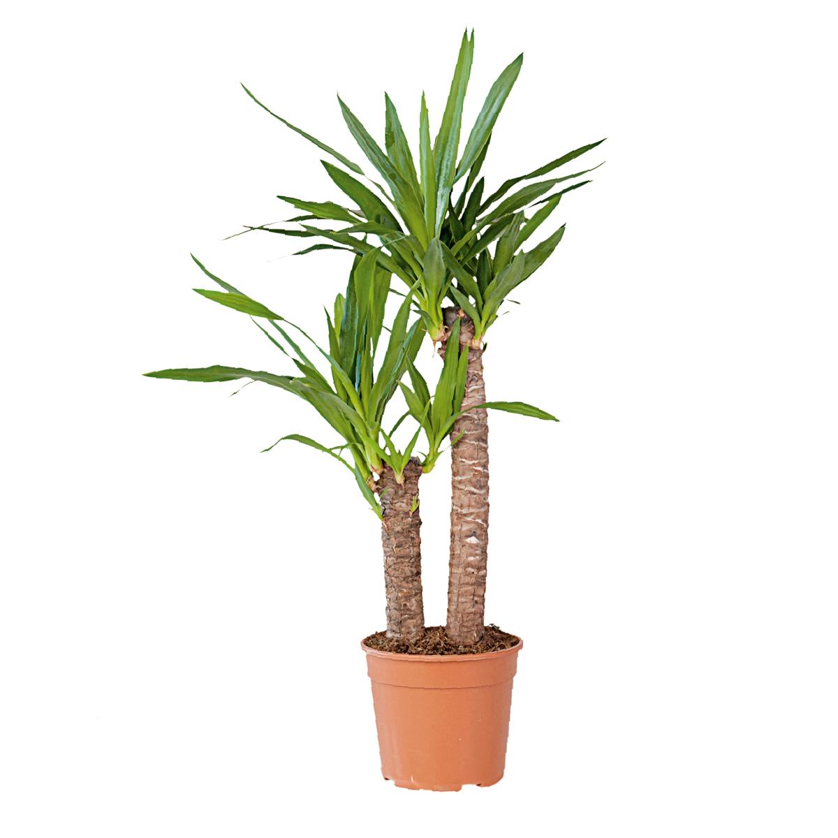 Yucca a più tronchi