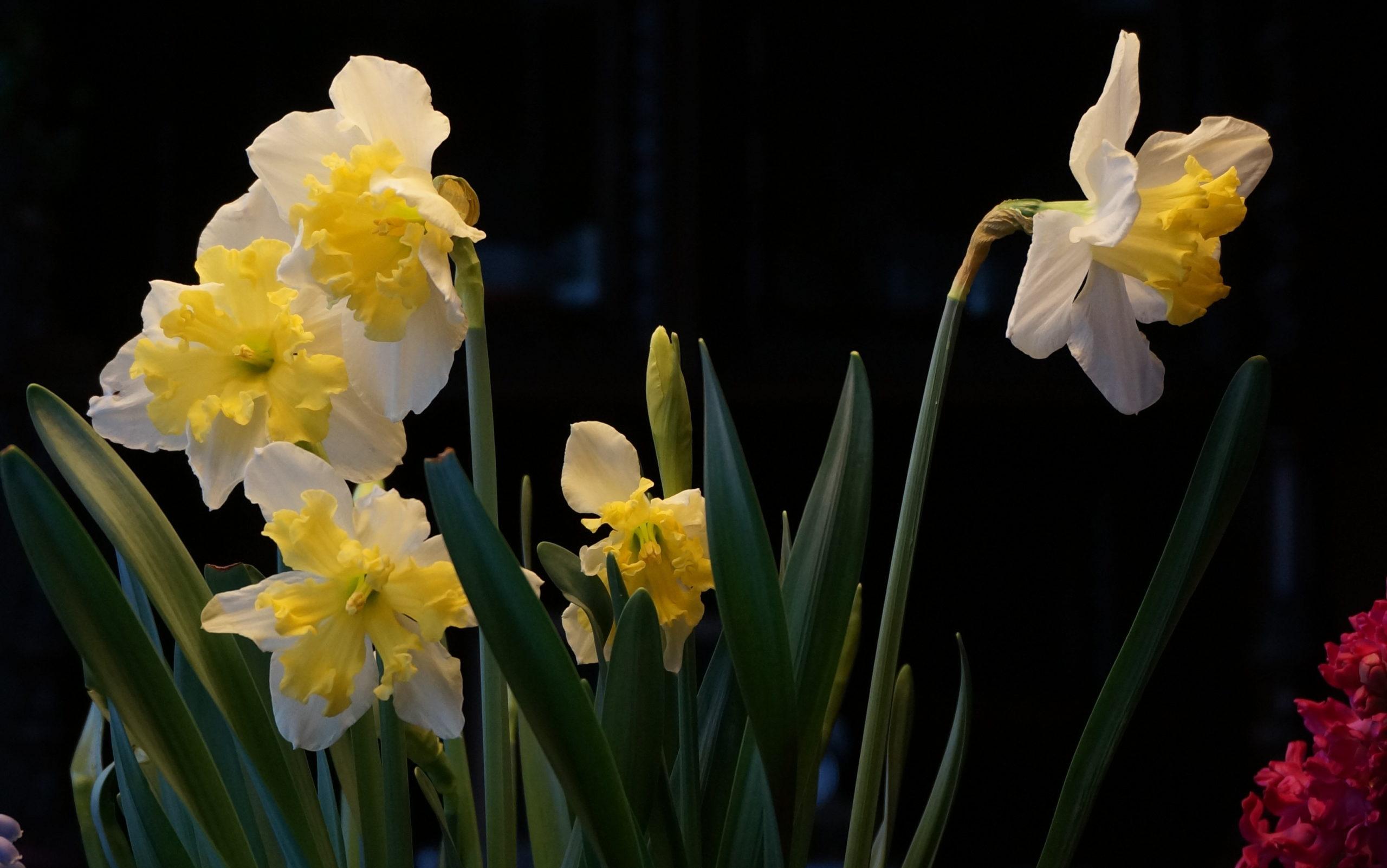 Bulbi in giardino e in vaso