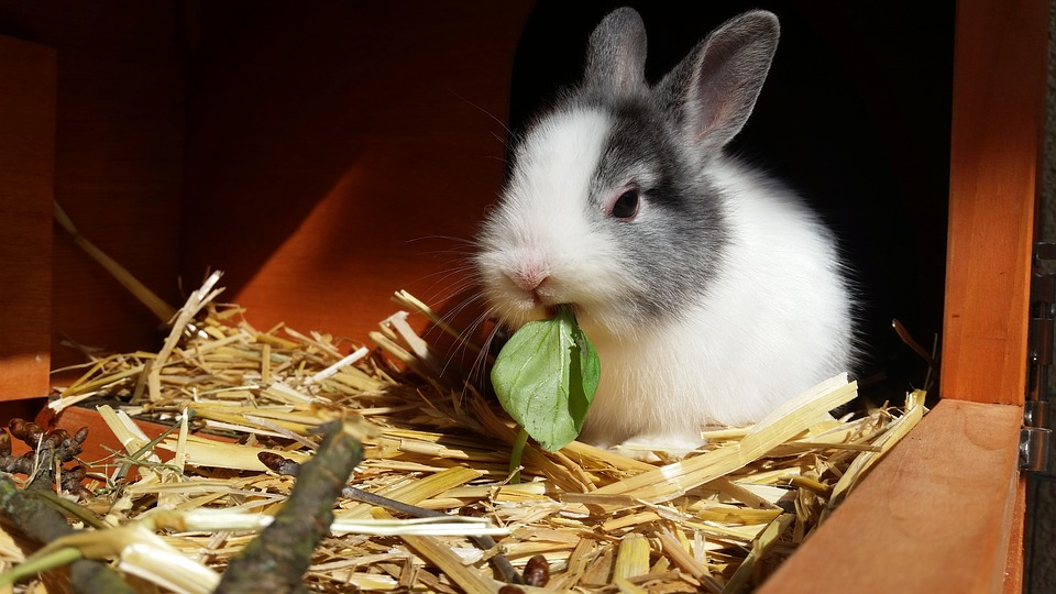 Il coniglio nano: socializzazione, gioco e stimoli ambientali