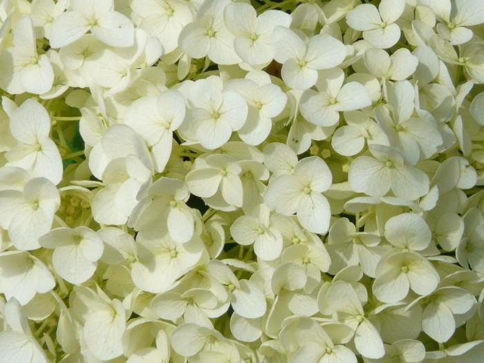 Hydrangea quercifolia o Ortensia a foglia di quercia