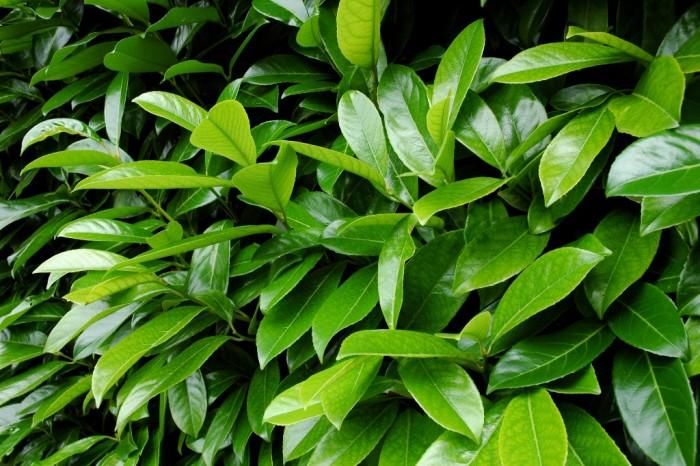 Lauroceraso (Prunus laurocerasus)