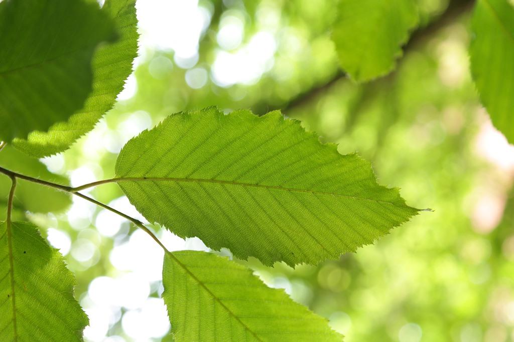 Carpinus betulus (Carpino)