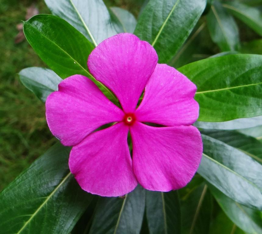 Catharanthus roseus o Pervinca del Madagascar