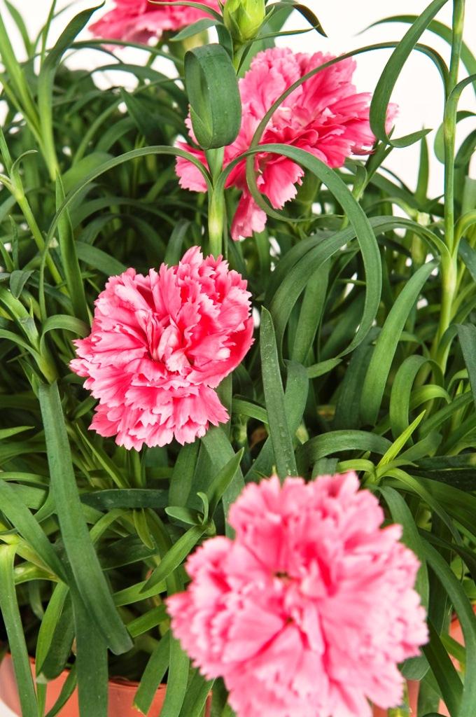 Dianthus o Garofanino