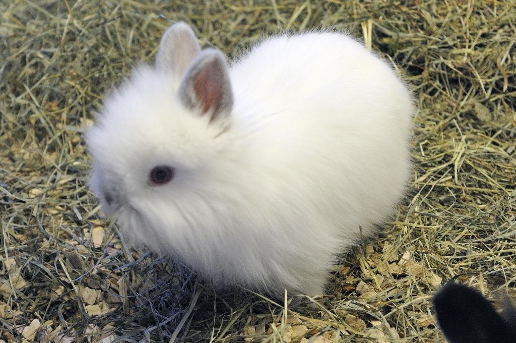 I conigli non hanno denti da latte