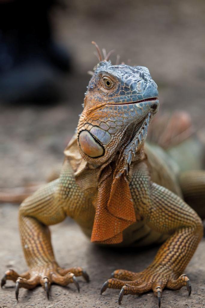 Integratori per la dieta dell'iguana