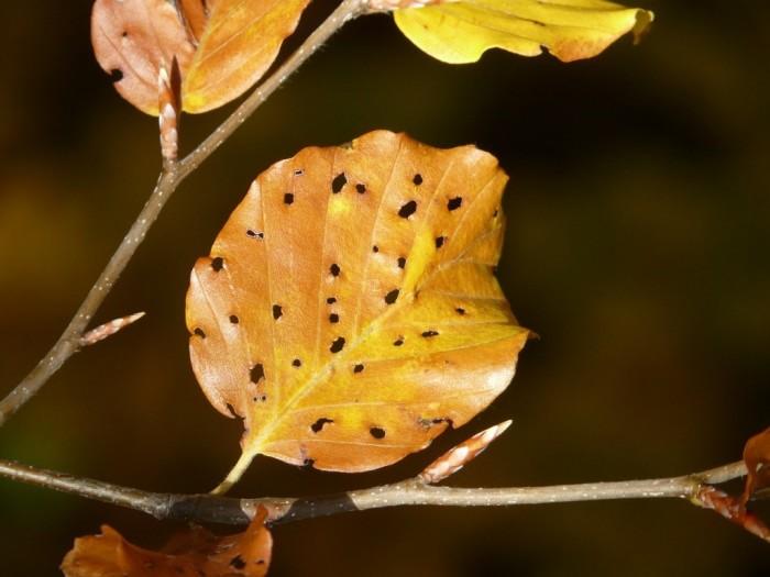 Le malattie fungine degli alberi da frutto