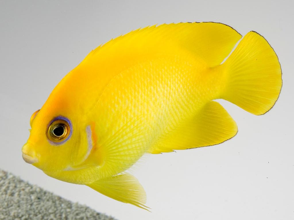 Pesce angelo giallo