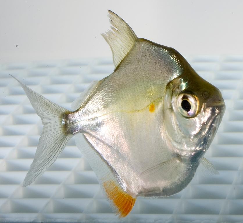Pesce dollaro argento