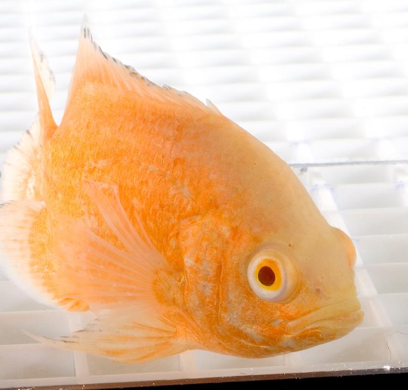 Il pesce Oscar