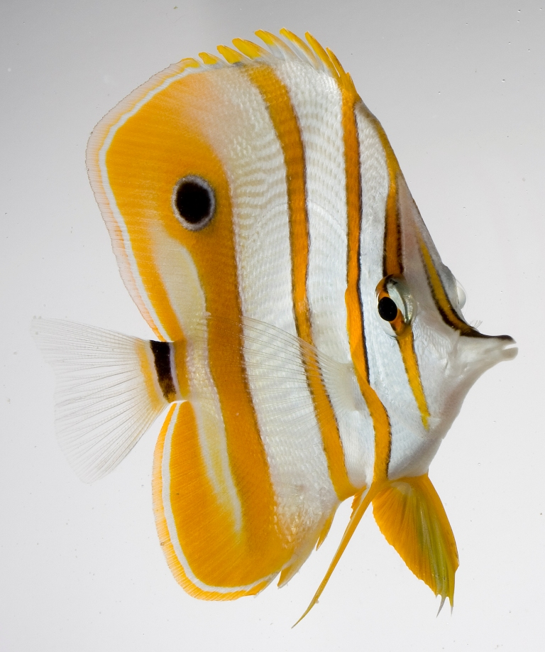 Pesce pinzetta