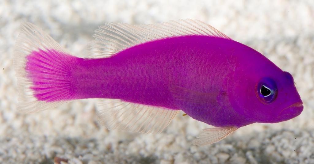 Pesce porfido
