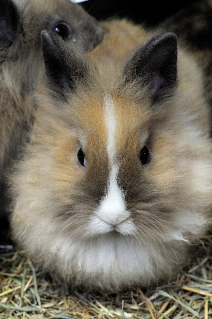 La riproduzione o sterilizzazione del coniglio nano