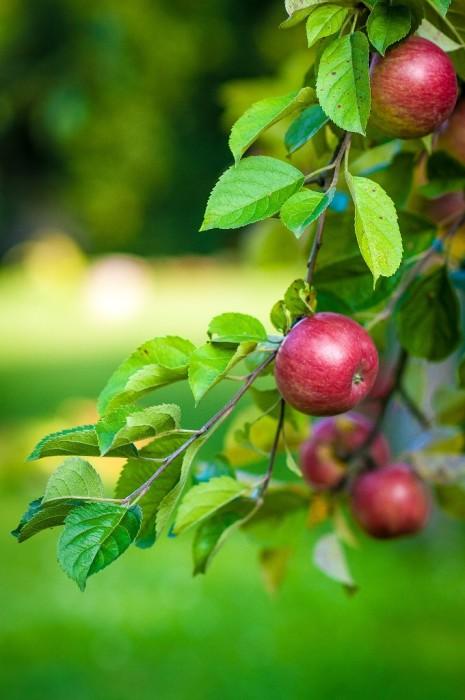 La salute del frutteto di casa