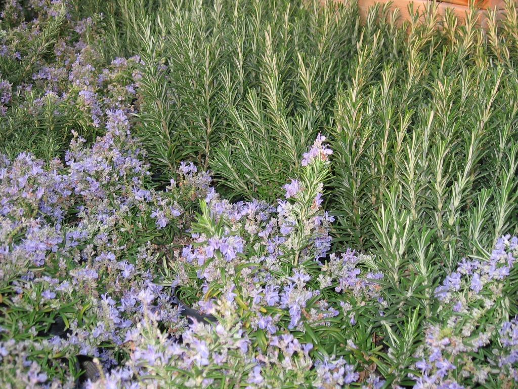 Scegliere le aromatiche per vasi e giardino