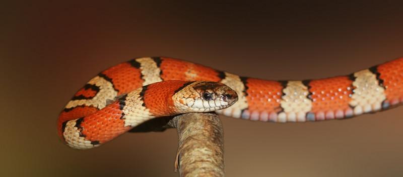 Il serpente falso corallo