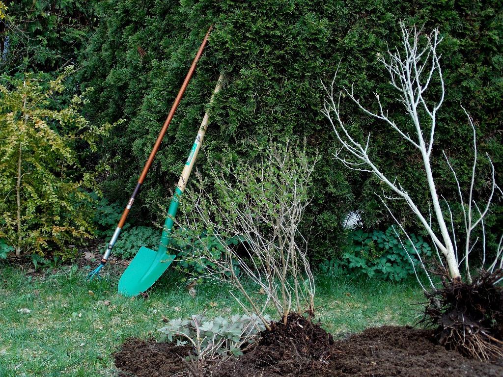 Il trapianto di un arbusto: le regole