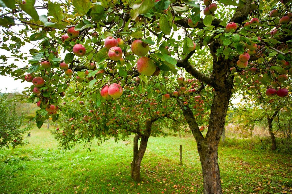Piante da frutto in mostra