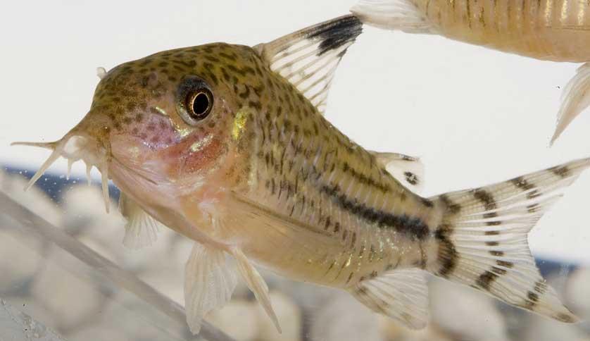 Pesce spazzino rigato