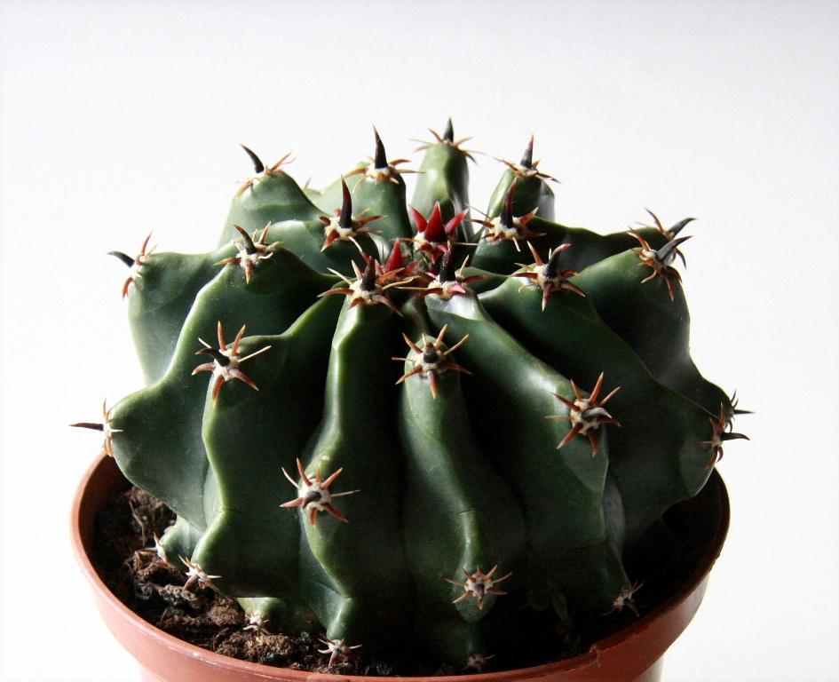Ferocactus townsendianus inermis
