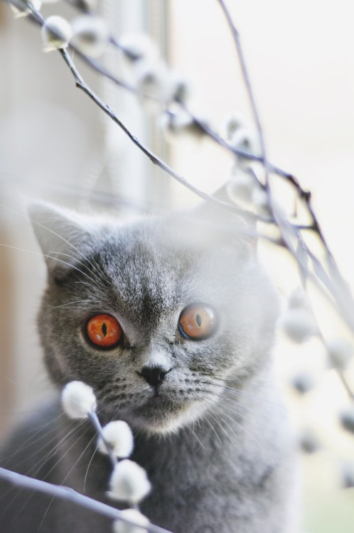 Il British Shorthair, vero lord inglese