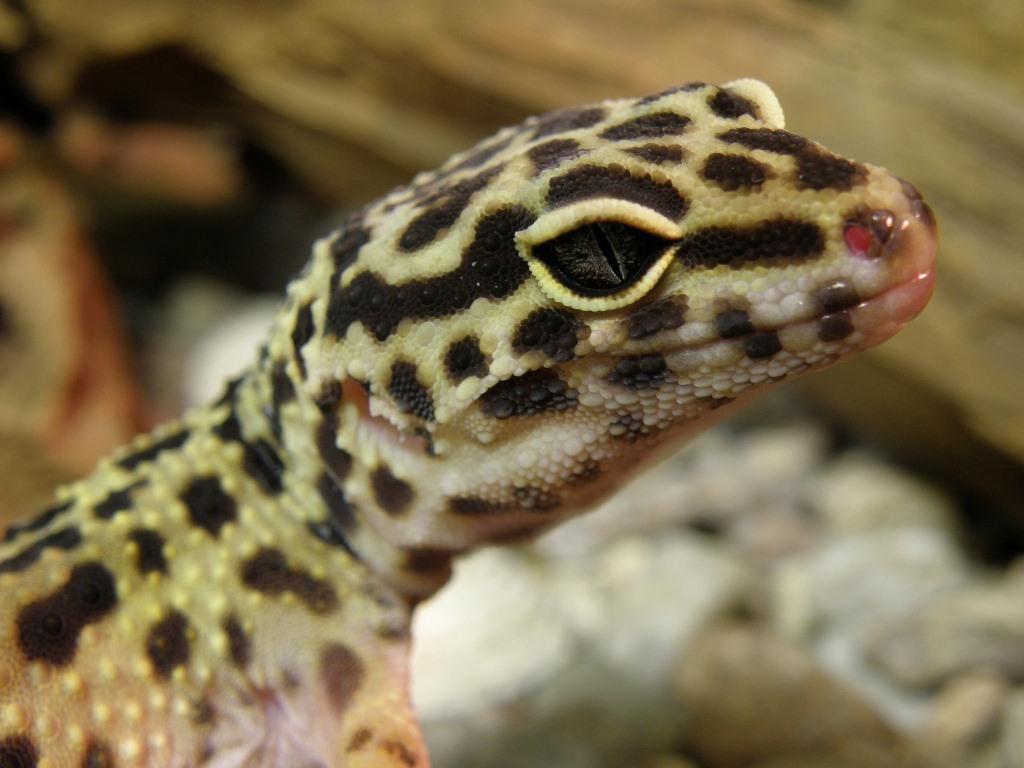 I gechi Eublepharis e la loro vita nel terrario