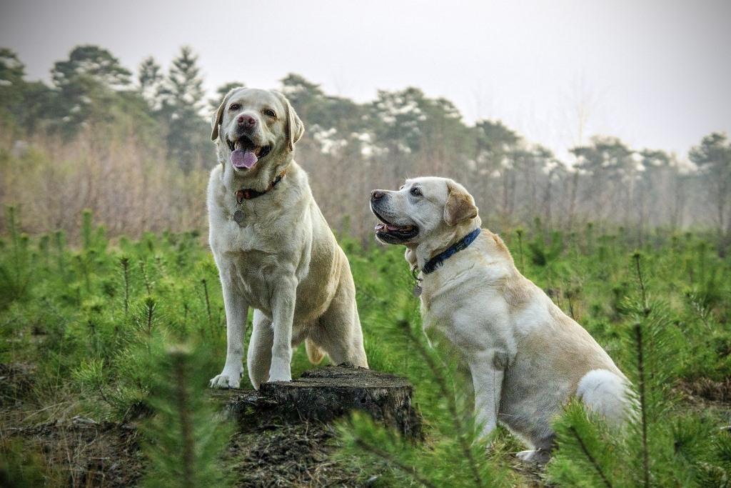 La gerarchia nel cane