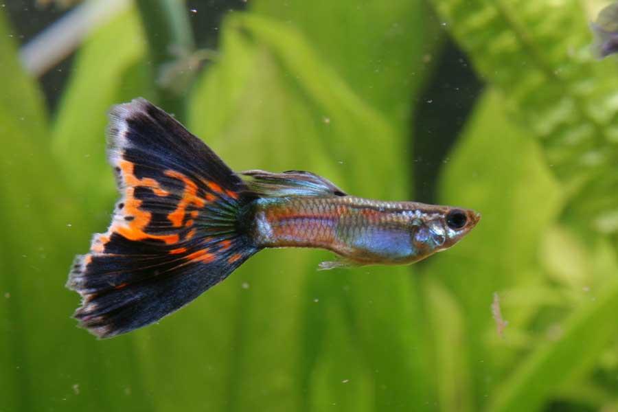 Il guppy (o pesce milione)