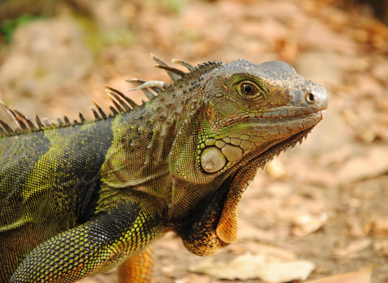 Ambientazione e riproduzione dell'iguana verde