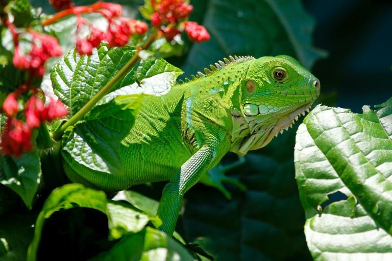 L'alimentazione naturale dell'iguana verde