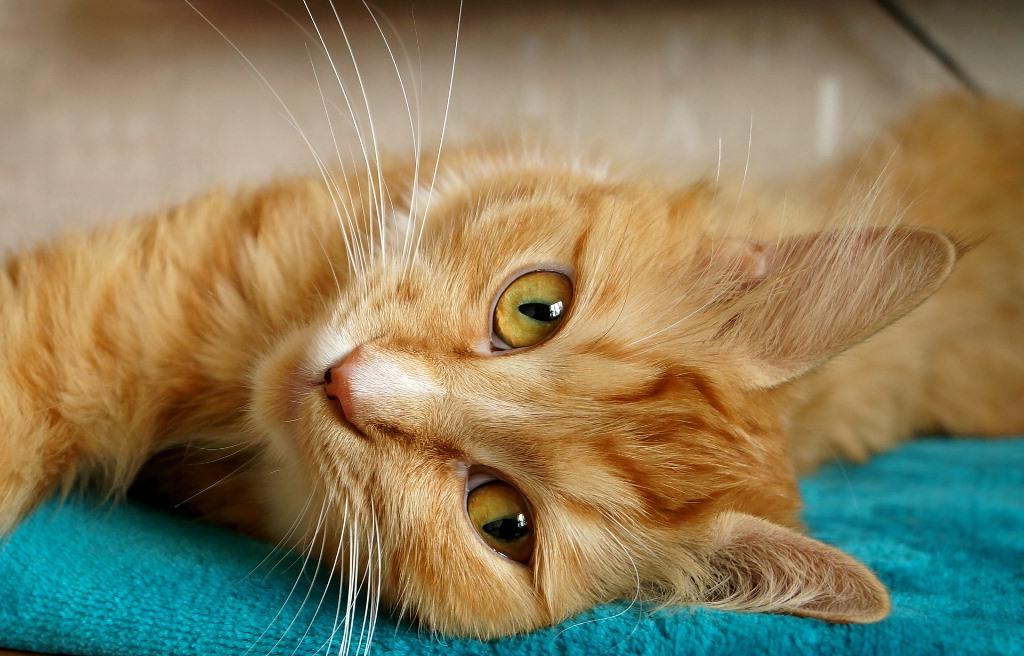 L'ipertiroidismo felino