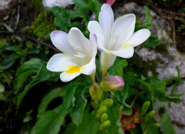 La Fresia, primavera in arrivo!