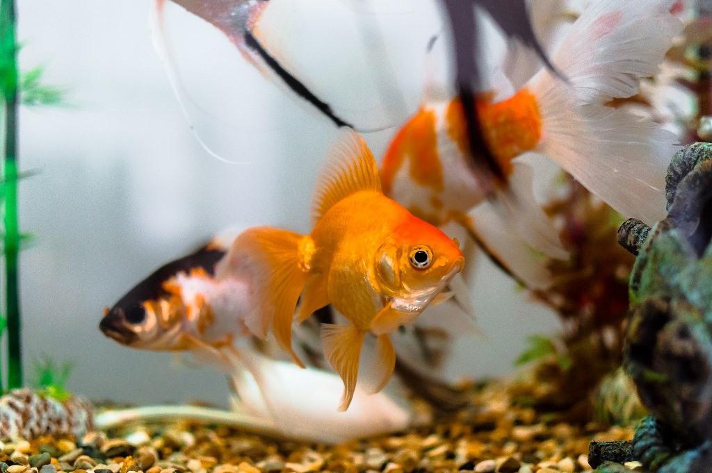 La malattia dei puntini bianchi dei pesci d'acquario
