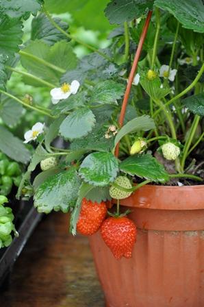Le fragole in vaso: facili e belle